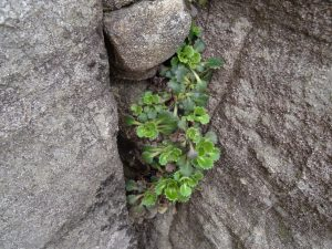 St Patricks Cabbage
